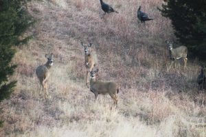 Whitetail Deer at Jartop West Ranch